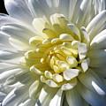 Chrysanthemum In Sunlight by William Selander