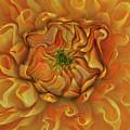Chrysanthemum by Kathy Moll