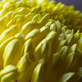 Chrysanthemum by Peteris Vaivars