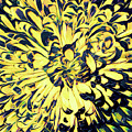 Chrysanthemum Pop by Susan Maxwell Schmidt