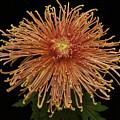 Chrysanthemum 'senkyo Kenshin' by Ann Jacobson