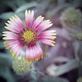 Chrysanthemum by Tran Minh Quan