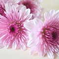 Chrysanthemums #009 by Ninie AG