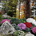 Chrysanthemums In The Garden by Camelia C