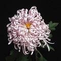 Chrysanthenmum 'satin Ribbon' by Ann Jacobson