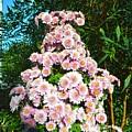 Chrysanths by Sonali Gangane