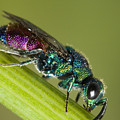 Chrysidid Wasp by Andre Goncalves