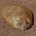 Chubby Prairie Dog Resting In A Shallow Hole by DejaVu Designs