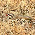 Chuckar Bird Hiding In Grass by Sheila Brown