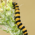Cinnabar Moth Caterpillar by Inga Spence