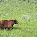 Cinnamon Phase Black Bear Eating Daisies by Jemmy Archer
