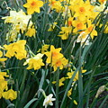 Circle Of Daffodils by Maro Kentros