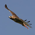 Circling Red Tailed Hawk by Daniel Earnhardt