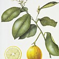 Citrus Bergamot by Margaret Ann Eden