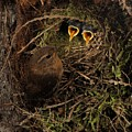 Clamorous Chicks by Damon Calderwood