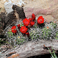 Claret Cup Cactus And Sandstone by Malcolm Howard