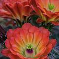Claret Cup Cactus Flowers  by Saija Lehtonen