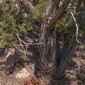 Claret Cup Cactus #2 by NaturesPix