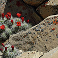 Claret Cup Cactus Nestled In Fractured Sandstone by Malcolm Howard