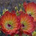 Claret Cup Cactus - Three Of A Kind  by Saija  Lehtonen