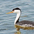 Clarks Grebe by Mike Fitzgerald
