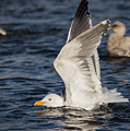 Clean Gull by Robert Potts