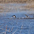 Cleared For Takeoff-ring-necked Ducks  by David Porteus