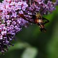 Clearwing Hummingbird Moth by Debbie Oppermann