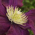 Clematis 4000 by Michael Peychich
