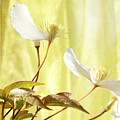 Clematis And Sunshine by Cindy Garber Iverson