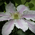 Clematis Blossom by Teresa Mucha