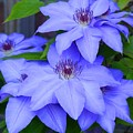 Clematis by Charles Ford