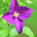 Clematis by Christina Rollo