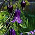 Clematis Flower Blossoms by Douglas Barnett