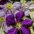 Purple Clematis Flower Vines by Carol F Austin