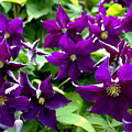 Clematis Flowers by Corey Ford