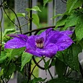 Clematis In Purple by Mary Timman