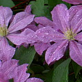 Clematis In The Rain by Carolyn Jacob