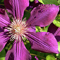 Clematis by Jean Macaluso