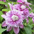 Clematis Josephine #6 by Judy Whitton