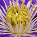 Clematis Macro by Keith Smith
