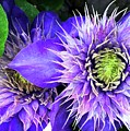 Clematis Multi Blue by Barbie Corbett-Newmin