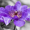 Clematis by Scott Carruthers