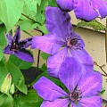 Clematis Trail by Vijay Sharon Govender