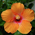 Clementine Hibiscus by DigiArt Diaries by Vicky B Fuller