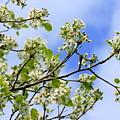 Flowering Pear by Angela Rath