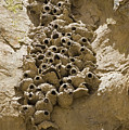 Cliff Swallow Hirundo Pyrrhonota Nests by Rich Reid