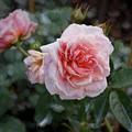 Climber Romantica Tea Rose, Digital Art by TN Fairey