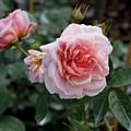 Climber Romantica Tea Rose by TN Fairey