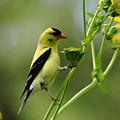 Clinging Goldfinch by Debbie Oppermann